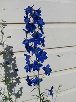 Delphinium Pacific Giant