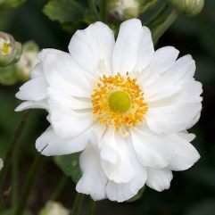 Anemone Japonica Double White