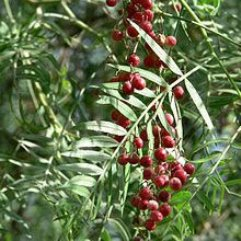 Schinus Molle - Peruvian Peppercorn Tree
