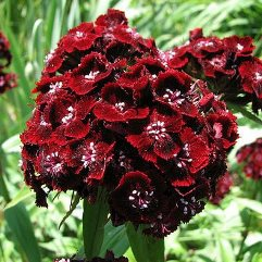 Dianthus Barbatus Chocolate