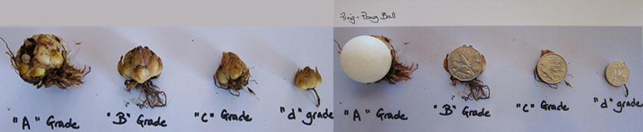 Grading Lily Bulbs