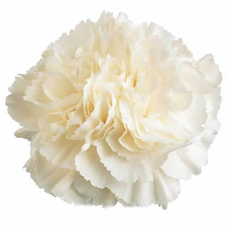 How to Plant Carnations