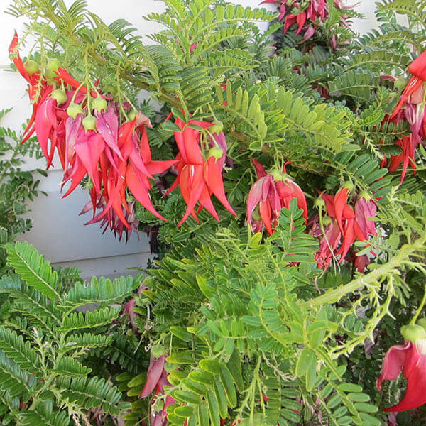 Clianthus - New Zealand Glory Pea