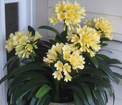 Clivia Miniata - Yellow