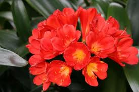 Clivia Miniata - Red