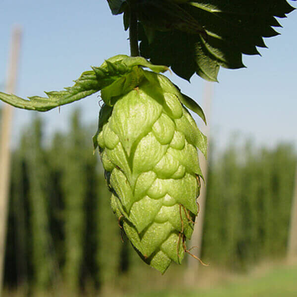 Columbus A bittering Hop originally from the USA