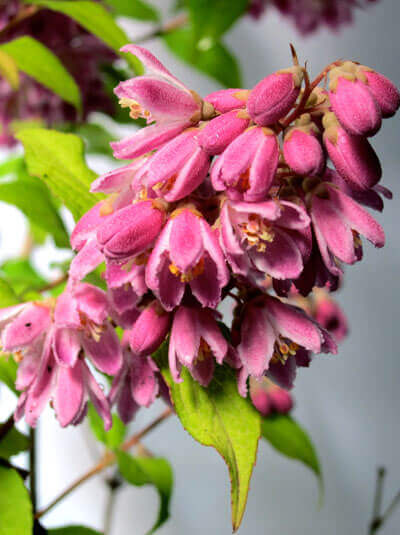Deutzia Scarborough Magician