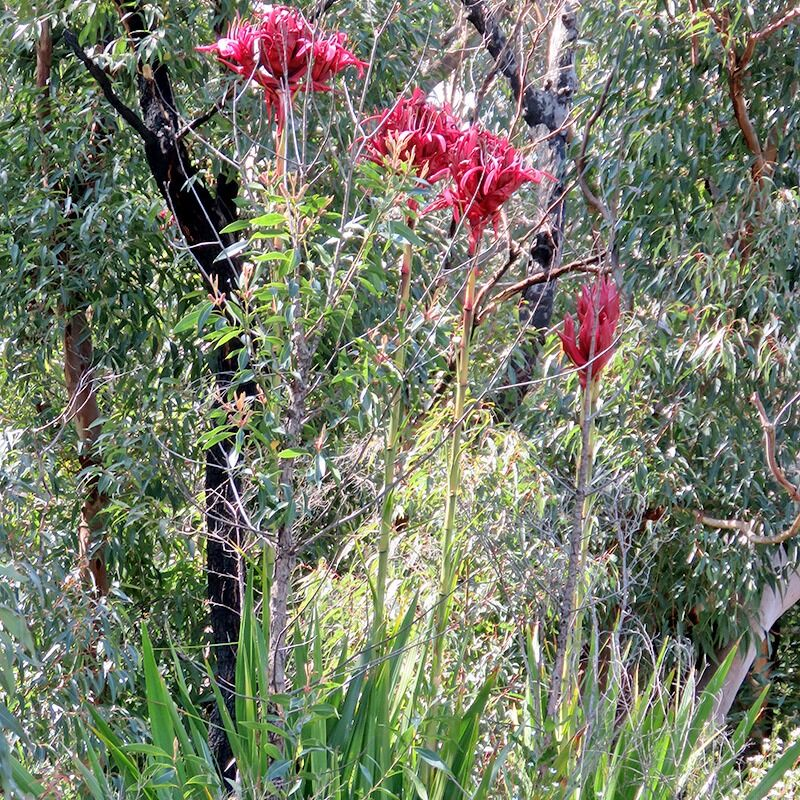 Doryanthese excelsa  Gymea Lily
