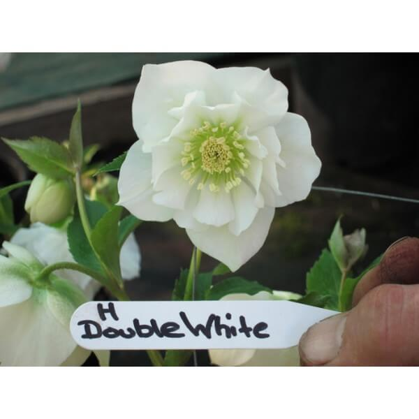 Hellebore Double White