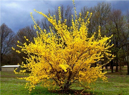 Forsythia Intermedia Lynwood Gold
