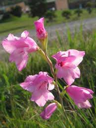 Gladiolus Nana - Thumbergia Charming Beauty