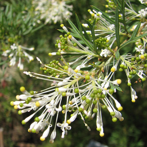 Grevillea White Wings