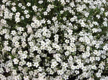 Gypsophila paniculata Single White - Single Baby
