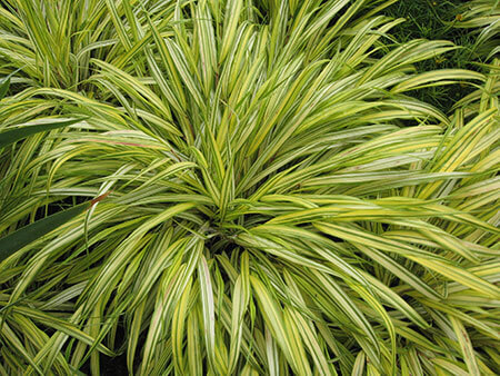 Hakonechloa macra alboaurea - Striped golden grass