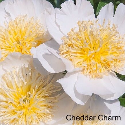 Herbaceous Peony  Cheddar Charm