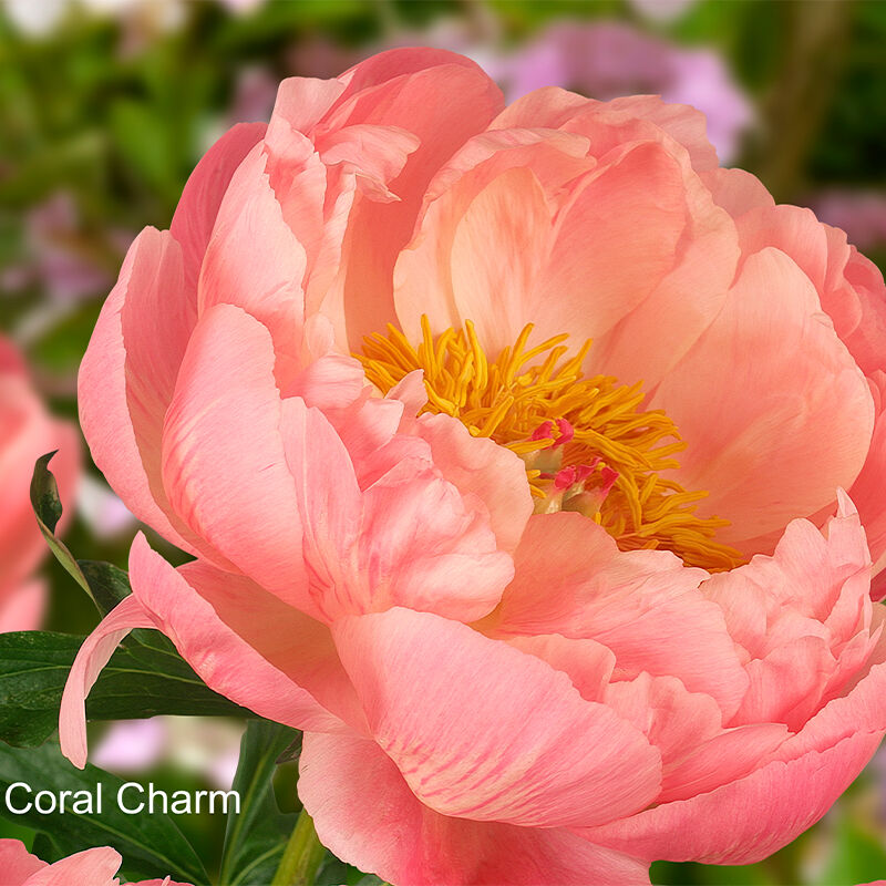 Herbaceous Peony  Coral Charm