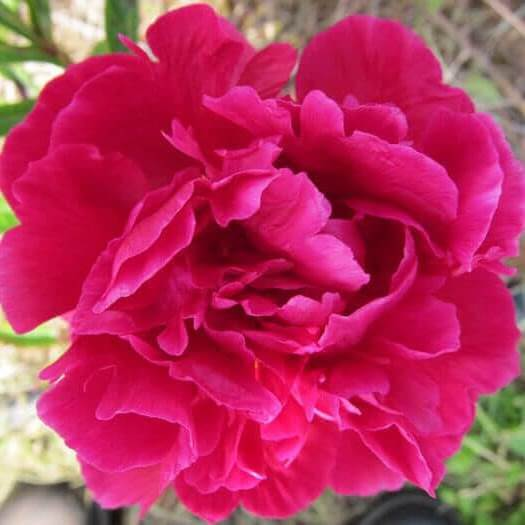 Herbaceous Peony   Big Red Gown