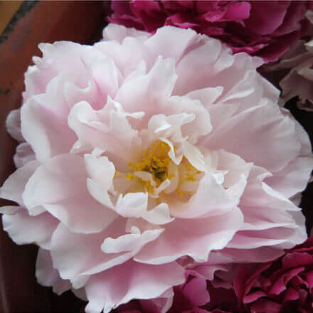 "Herbaceous Peony - ""Double Combination"""
