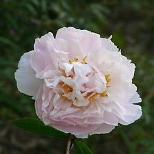 "Herbaceous Peony - ""Marguerite Gerard"""