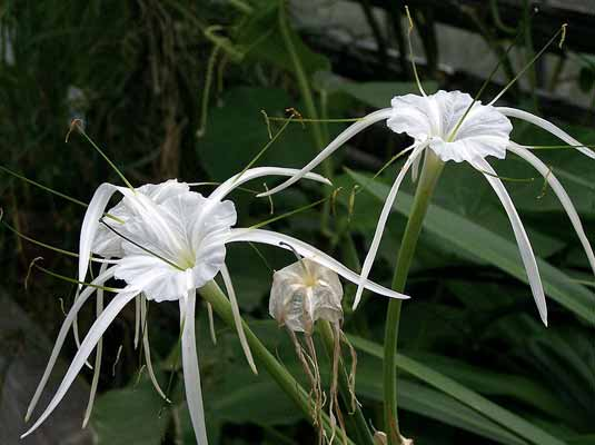 Hymenocallis - Sacred Lily of the Incas