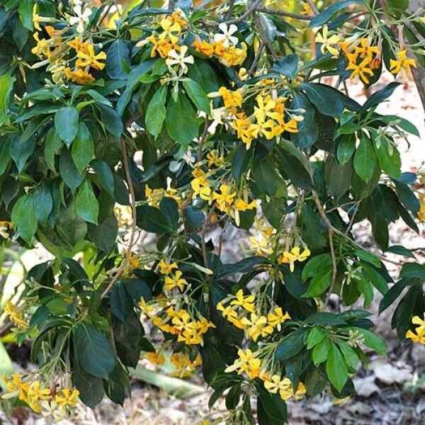 Hymenosporum flavour  Native Frangipani