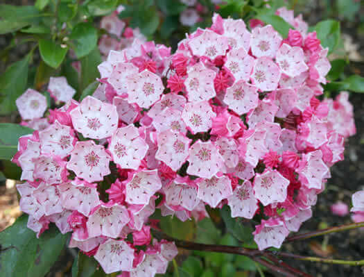 Kalmia latiflolia - Mountain Laurel - Wedding Cake shrub