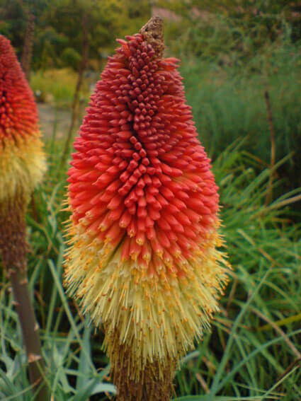 Kniphofia Caulescens - Red Hot Poker