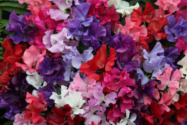 Lathyrus odoratus - Sweet Pea Mixed Colours