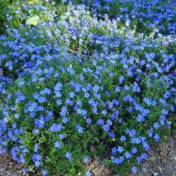 Lithodora difusum - Grace Ward