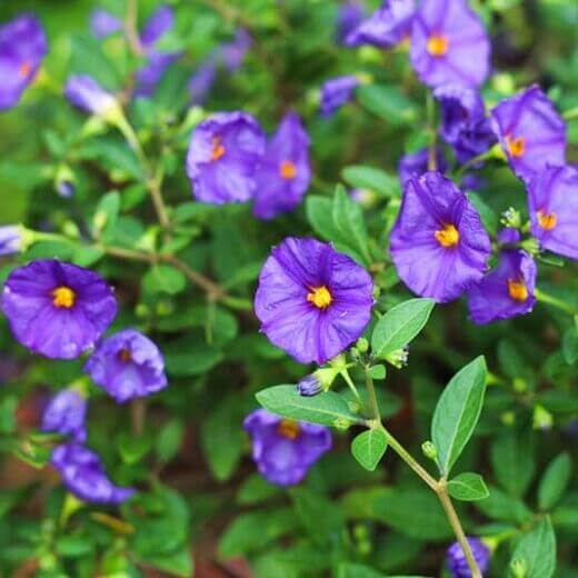 Lycianthes rantonnetii  Blue Potato Bush