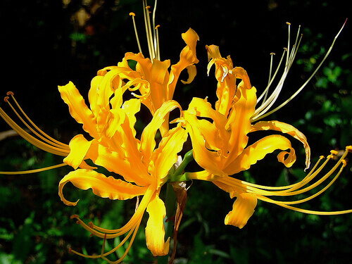 Lycoris aurea - Golden/Yellow Spider Lily