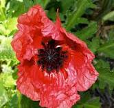 Papaver Orientale - Raspberry Queen