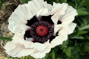Papaver Orientale - Drunken Choir Boy