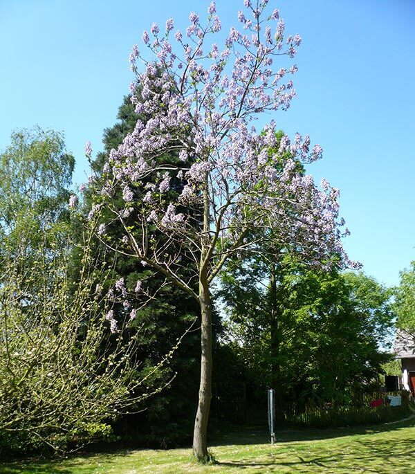 Paulownia Tomentosa - Fox Glove Tree