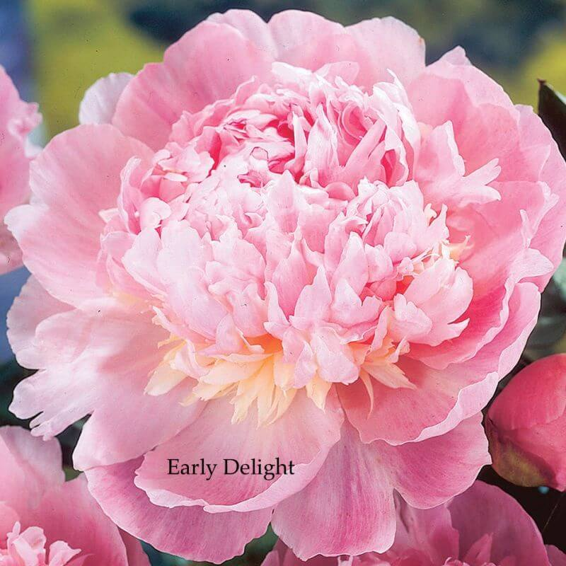 Peony  Early Delight