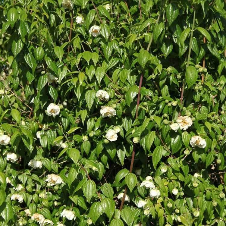 Philadelphus mexicanus  Double flowering mock orange