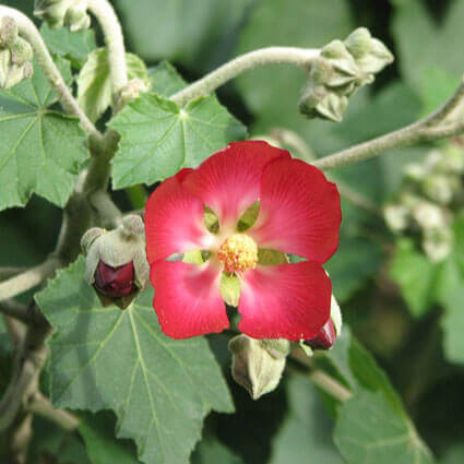 Phymosia umbellata - Mexican Bush Mallow