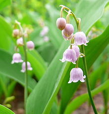 C. majalis var rosea - Pink Lily of The Valley
