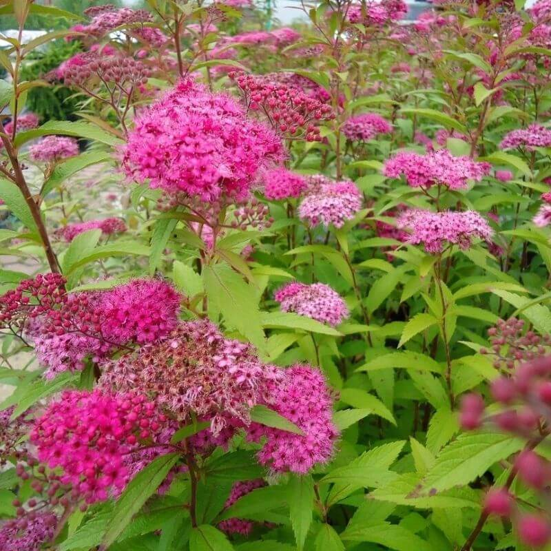 Spirea japonica Anthony Waterer