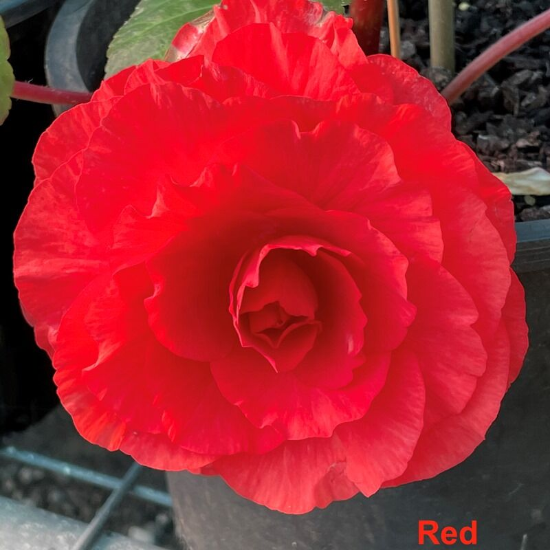 Tuberous Begonia Tubers  Large Flowered Hybrids  Red