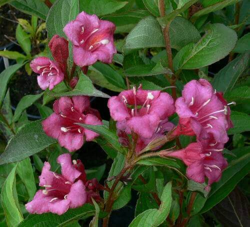 Weigela florida Eva Rathke