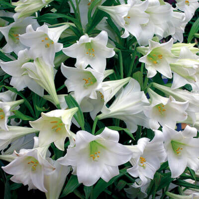Lilium White Wish