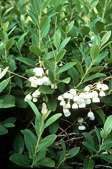 Zenobia pulverulenta - Honey Cup Bush