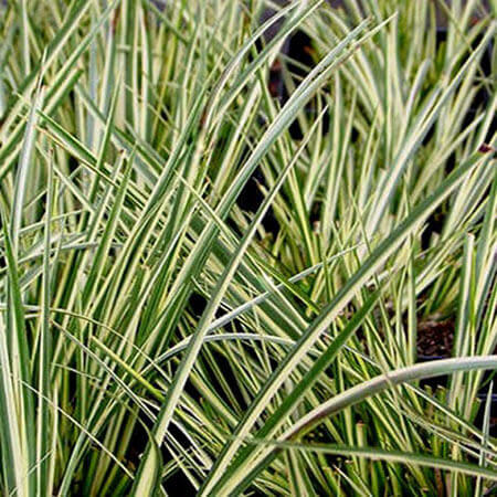 Acorus gramineus variegatus - Variegated Sweet Flag Grass
