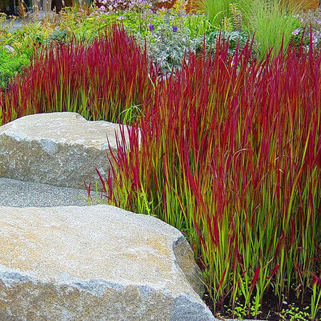 Japanese blood grass white house nursery - Imperata cylindrica red baron ...