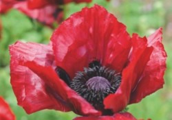 Papaver Orientalie - Bloody Mary