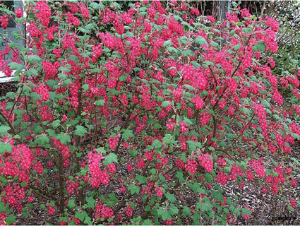 Ribes sanguineum King Edward VII - Flowering Currant Shrub