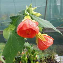 Abutilon X hybridum Orange
