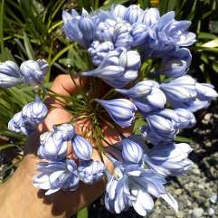 Agapanthus Double Blue