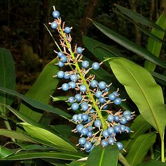 Alpina caerulea- Australian Native Ginger
